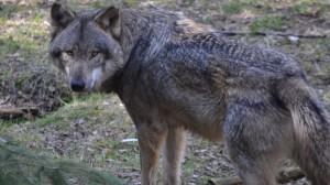 Wolf-bleibt-Wolf_Quelle_Kai-Hamann-1200x675
